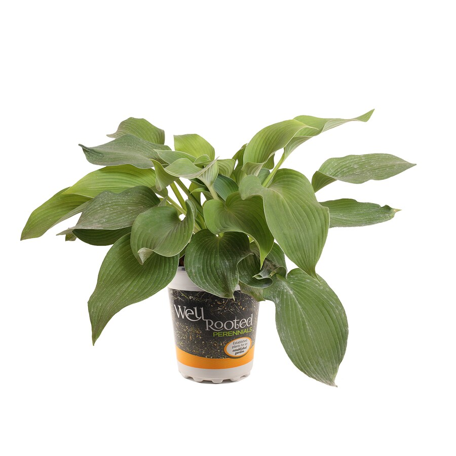 2.5-Quart Plantain Lily (L24870)