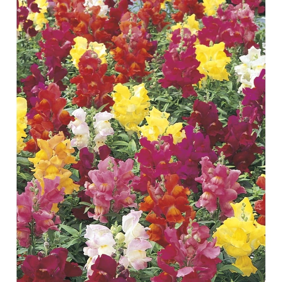 2-Quart Snapdragon (L3278)