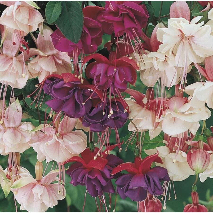 1-Quart Fuchsia (L6592)