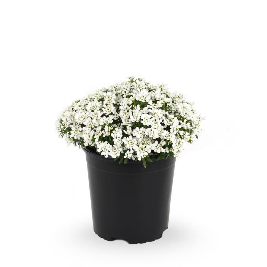 2.5-Quart Candytuft (L6685)