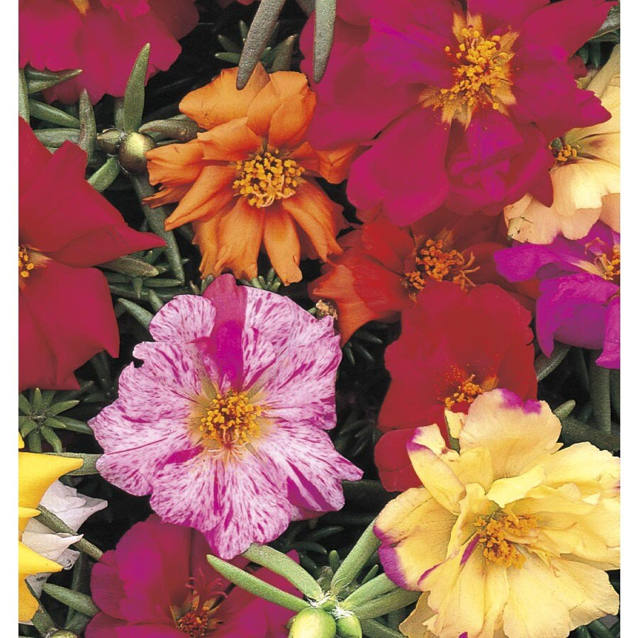 1-Pint Moss Rose (L2535)