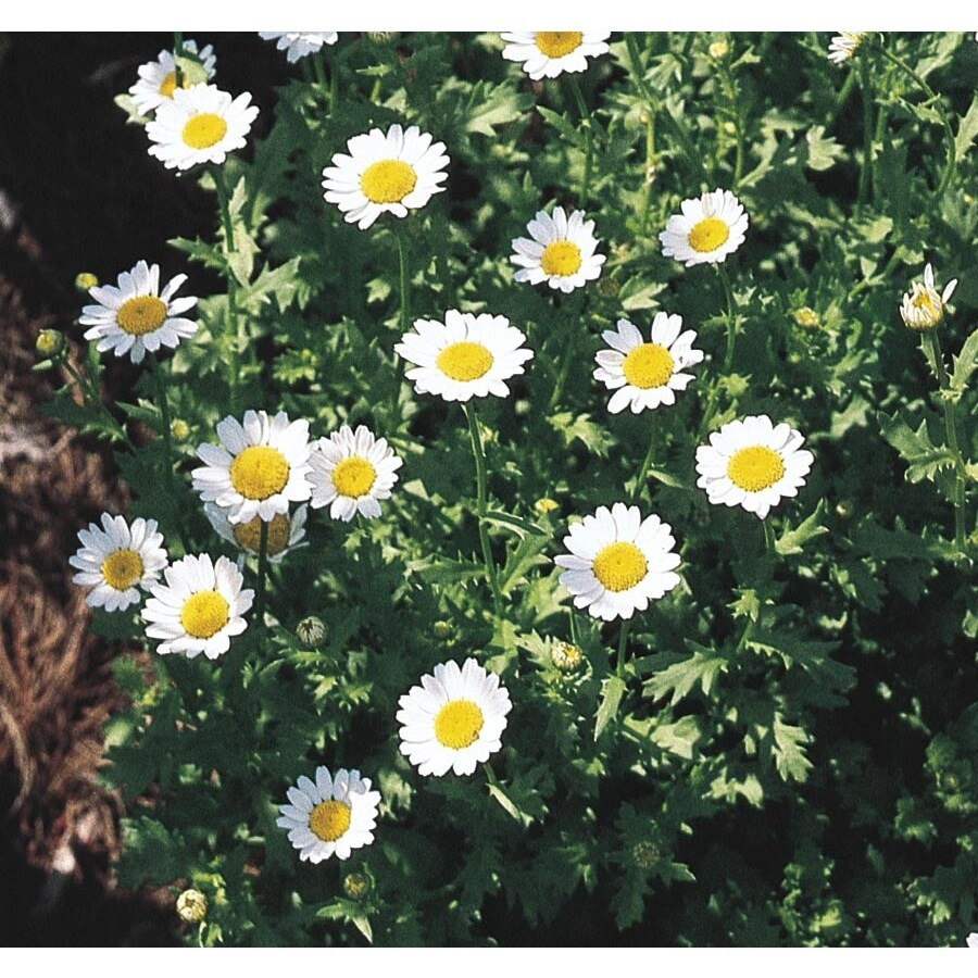 2-Quart Paludosum Daisy (L6858)