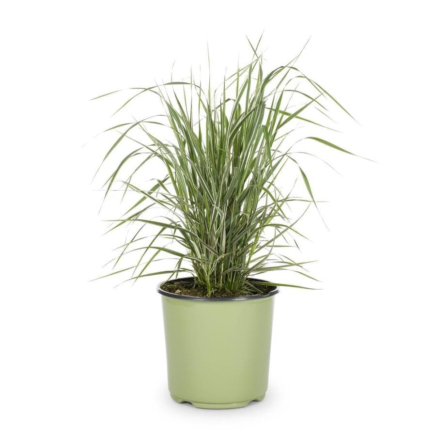 1.5-Gallon Feather Reed Grass (L24894)