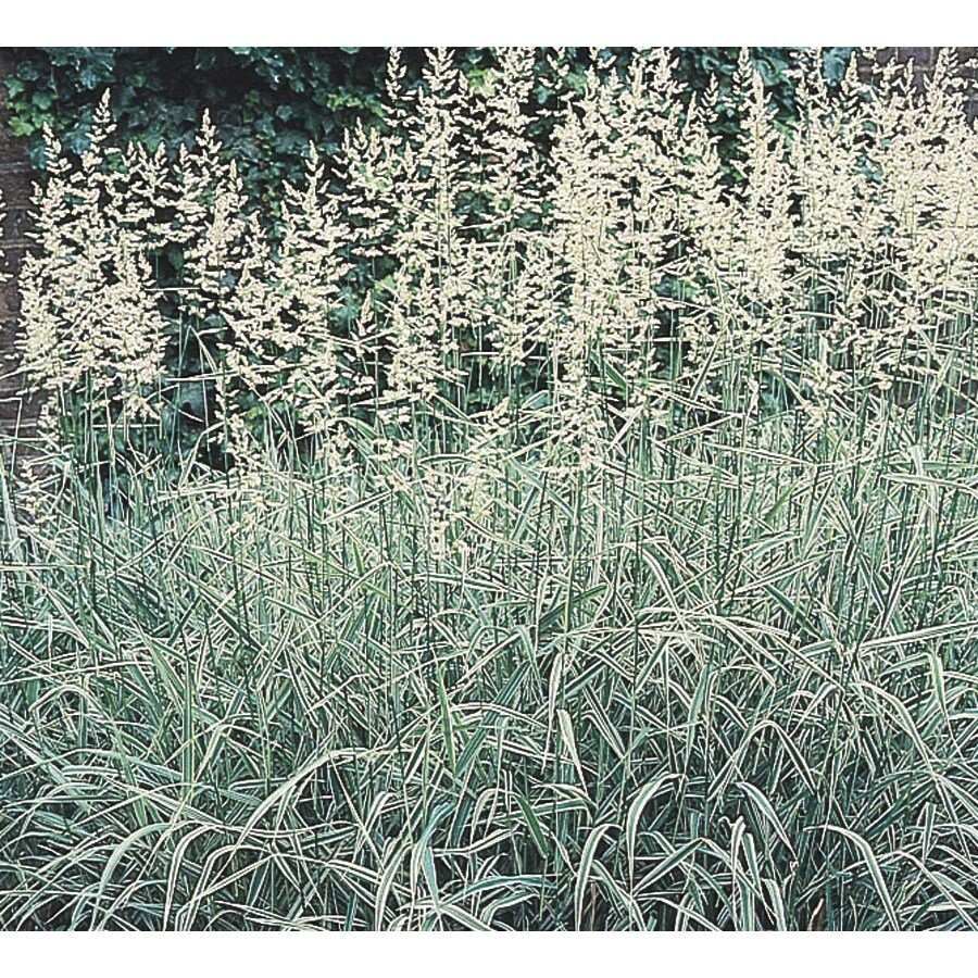 1.5-Gallon Picta Ribbon Grass (L4215)