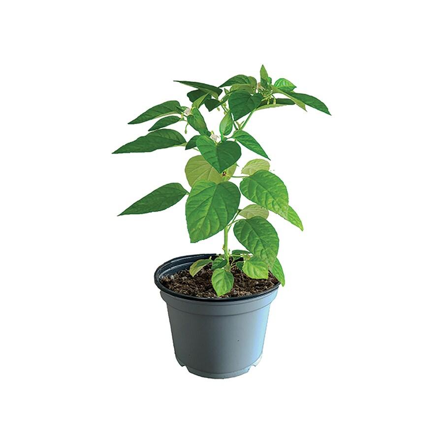 1.25-Quart Container Vegetable