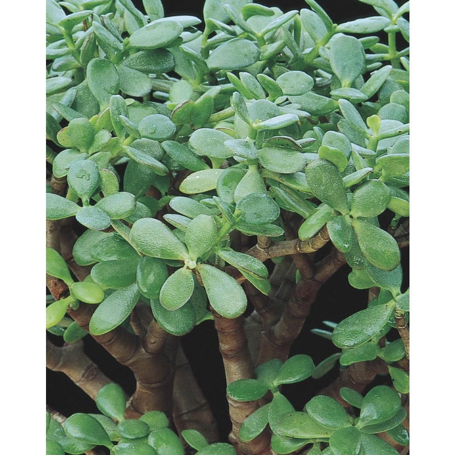 1.36-Quart Pink Jade Plant Feature Shrub (LW03223)