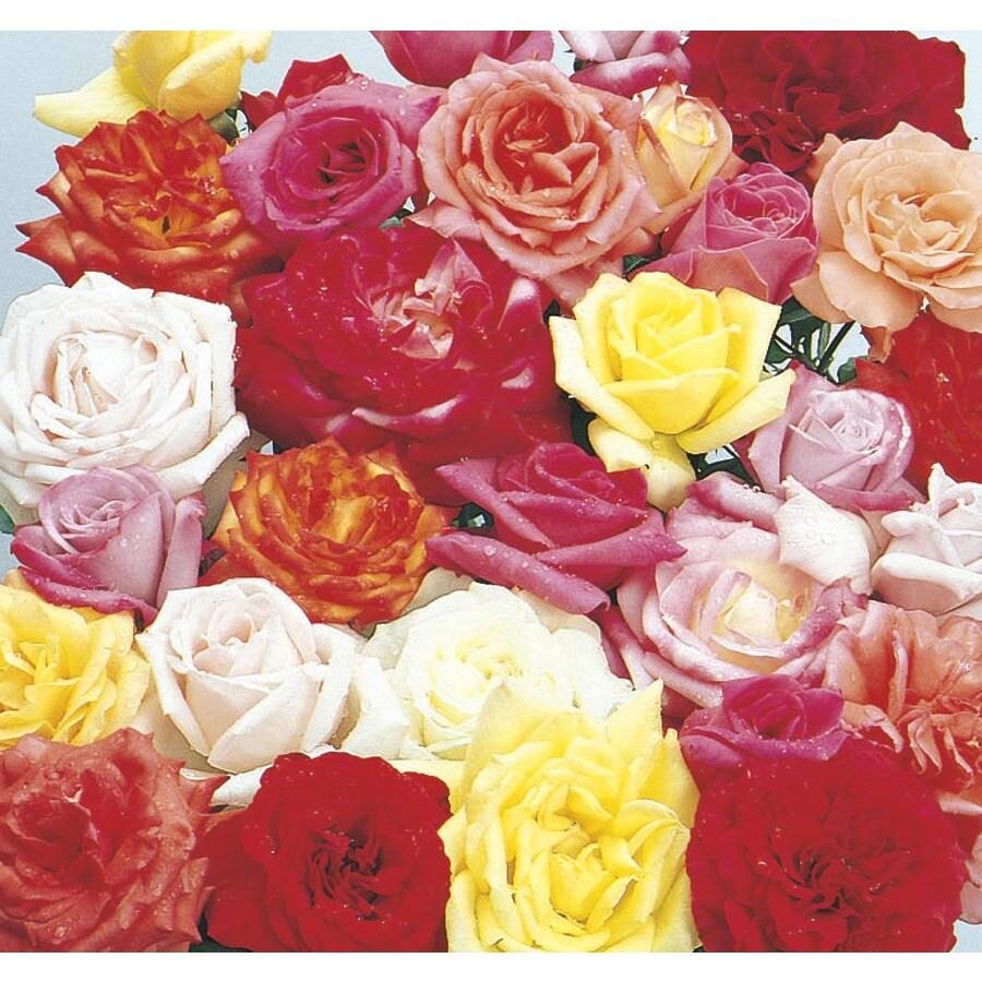 2.07-oz Rose (L6023)