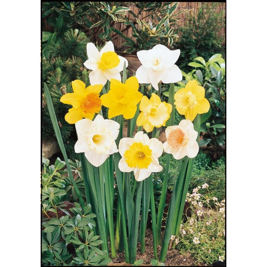 Mix Daffodil Bulb