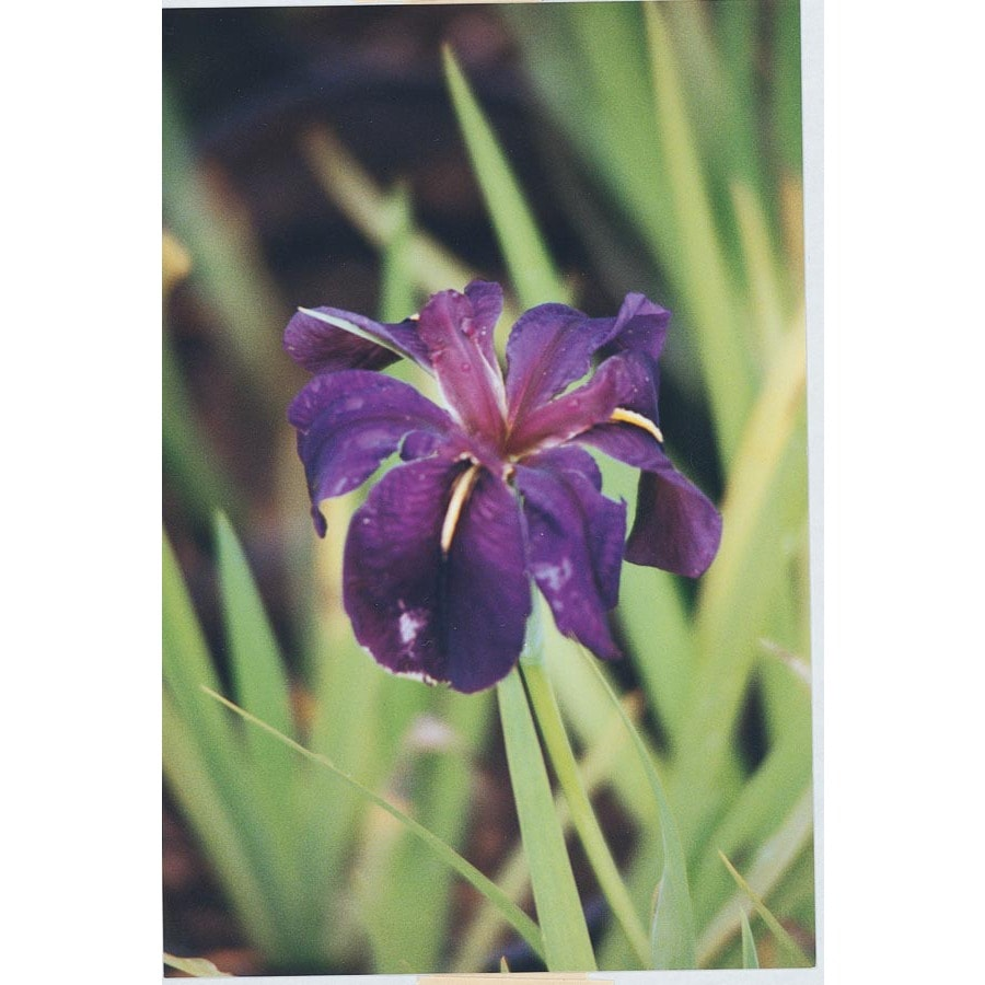 Black Gamecock Louisiana Iris (L15955)