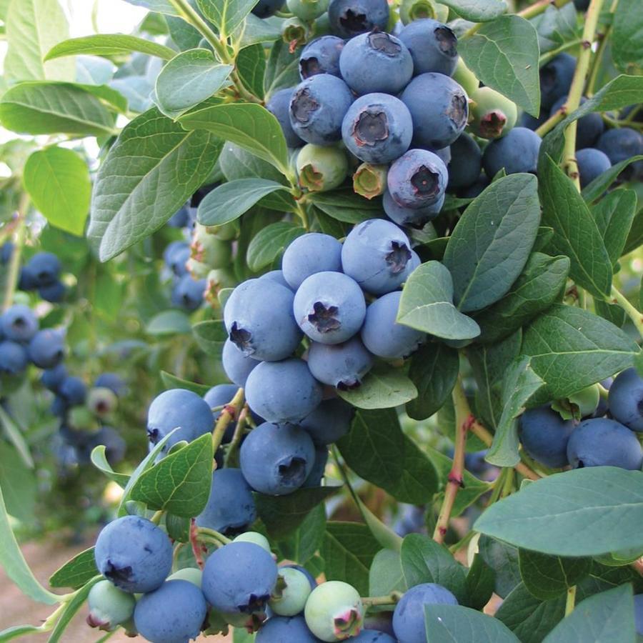 Chippewa Blueberry Bush