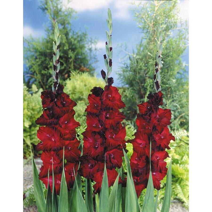 Arabian Knight Gladiolus Bulbs