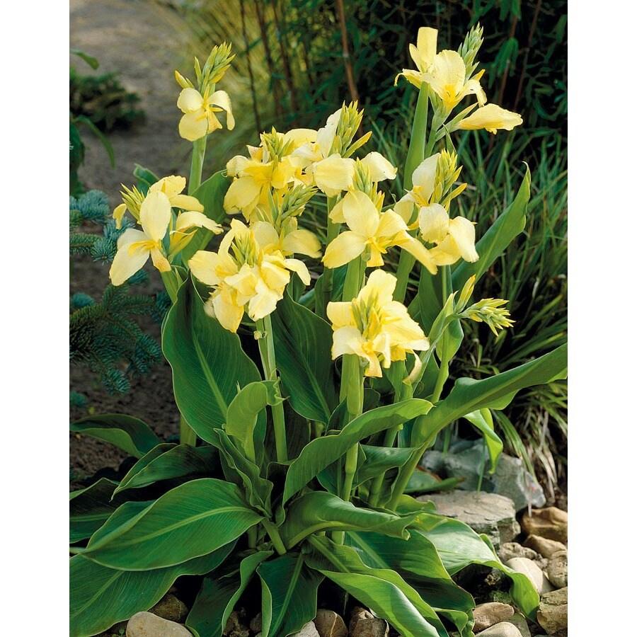 2-Count Eureka Canna Lily (L10328)