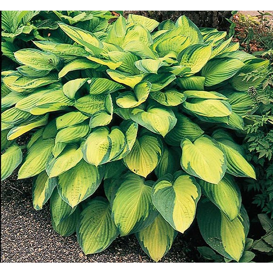 5-Count Gold Standard Plantain Lily (L6166)