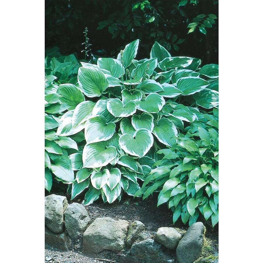 5-Count Albo-Marginata Plantain Lily (L5591)