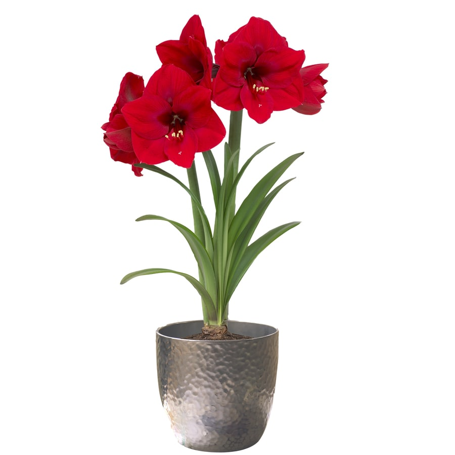 5-in Amaryllis Bulbs