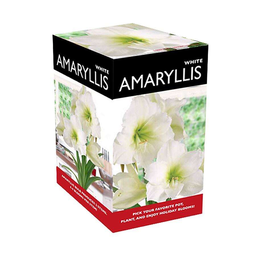 1-Count Amaryllis Bulbs