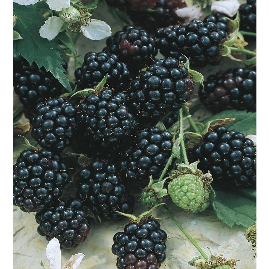 Apache Thornless Blackberry Small Fruit (L14292)