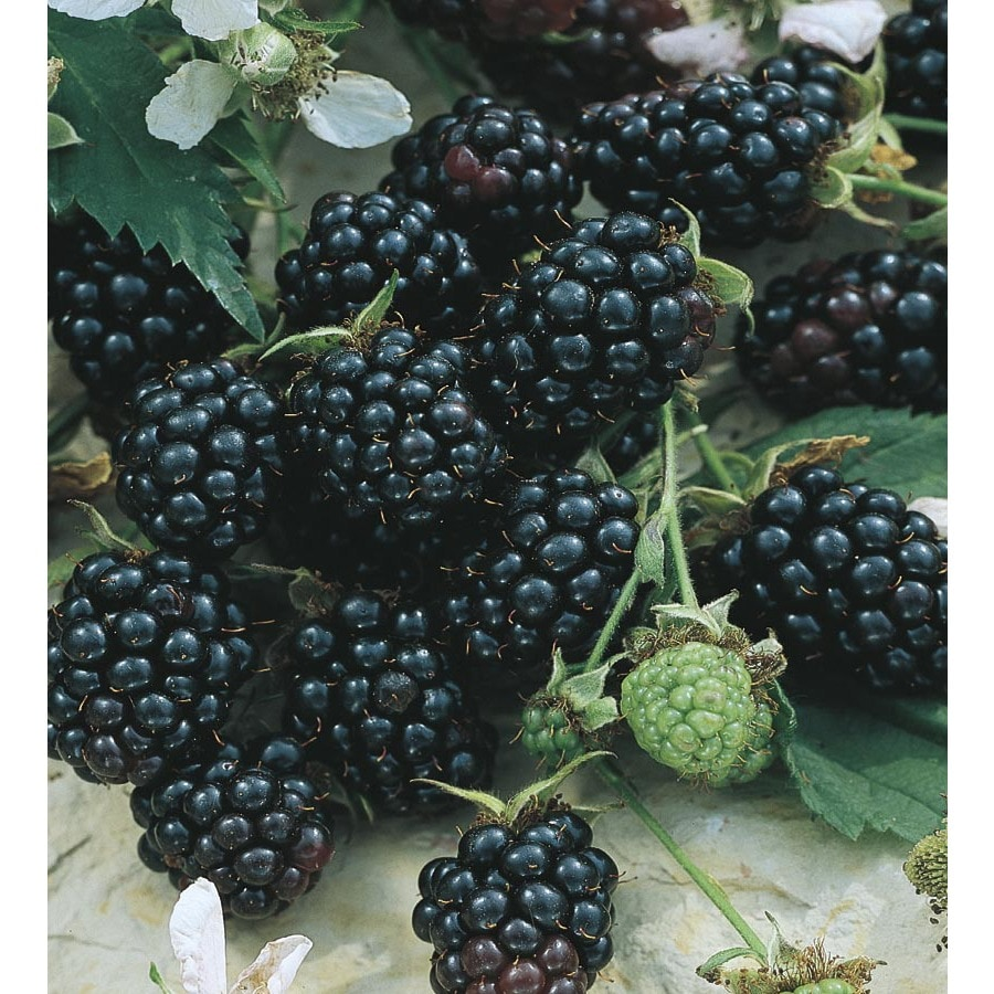 Ouachita Thornless Blackberry Small Fruit (L21210)