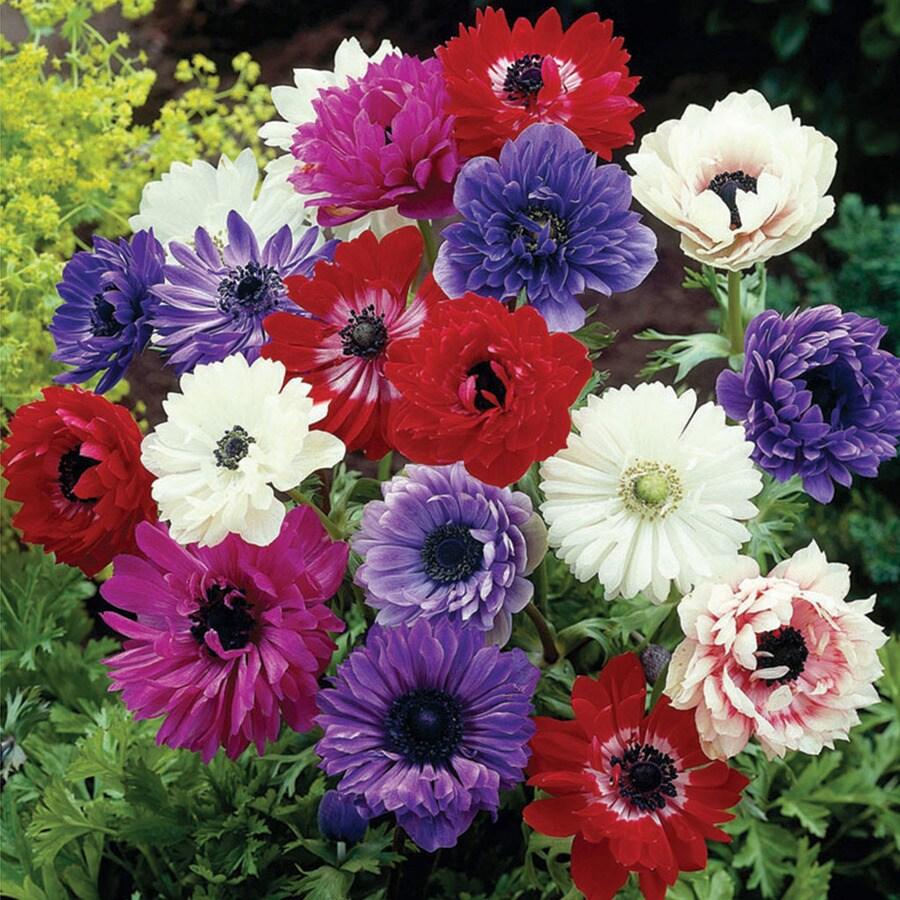 25-Count Anemones Bulbs