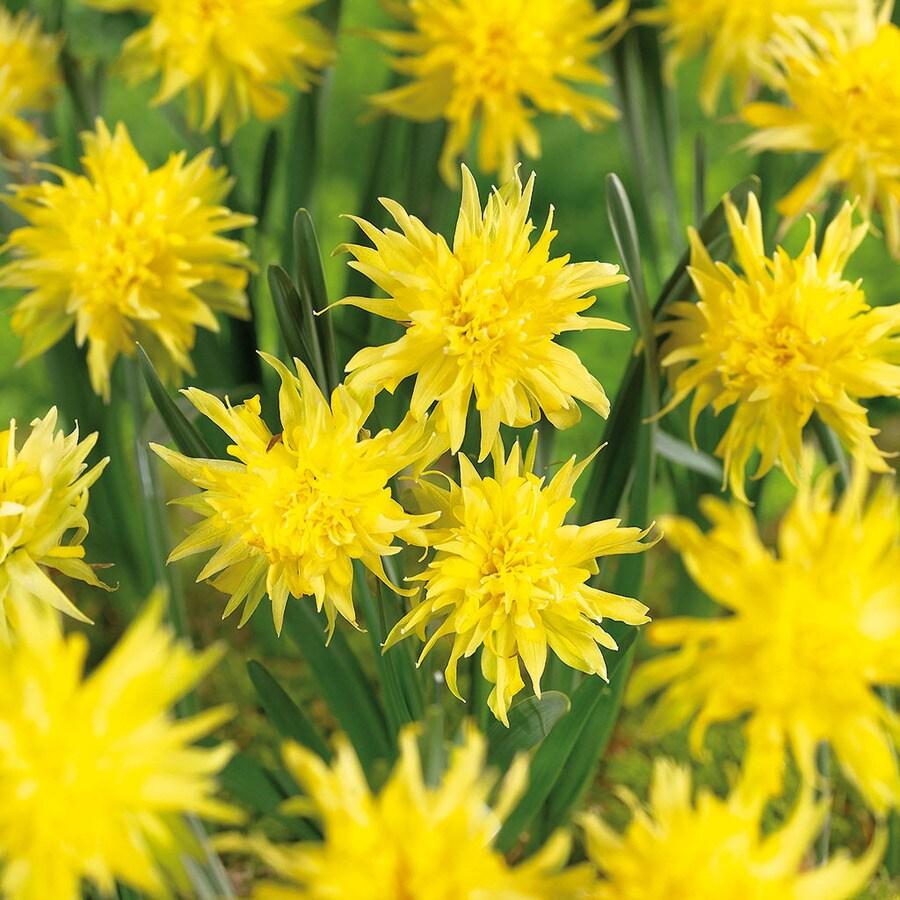 12-Count Daffodil Bulbs