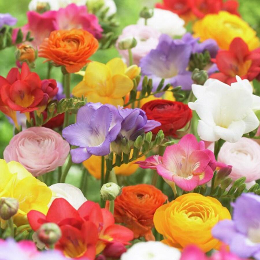 25-Count Freesias and Ranunculus Bulbs