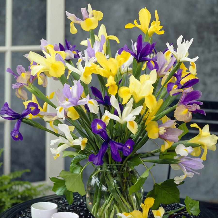 25-Count Dutch Iris Bulbs