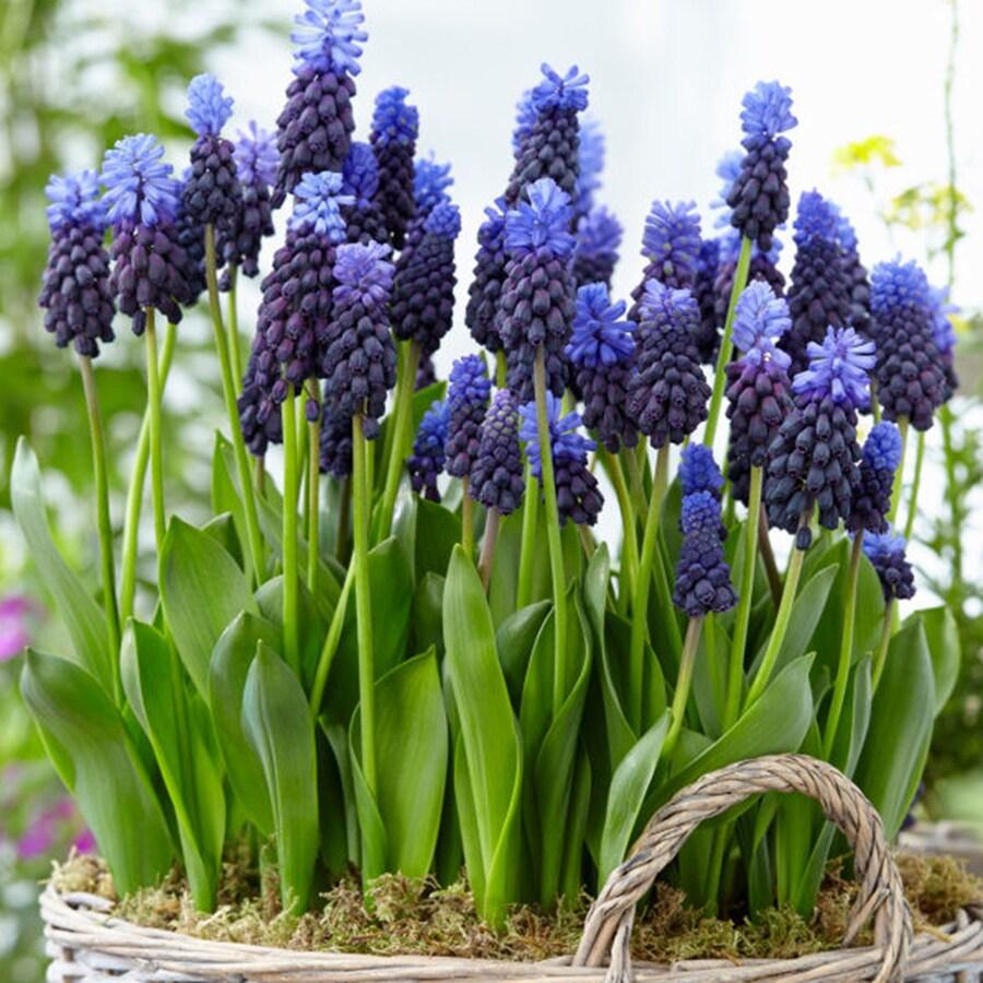 25-Count Hyacinth Bulbs