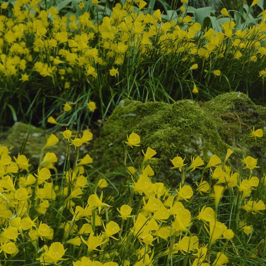 25-Count Narcissus Bulbs