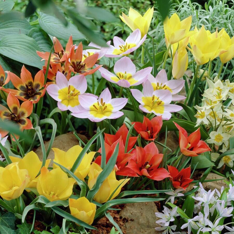 50-Count Tulip Bulbs