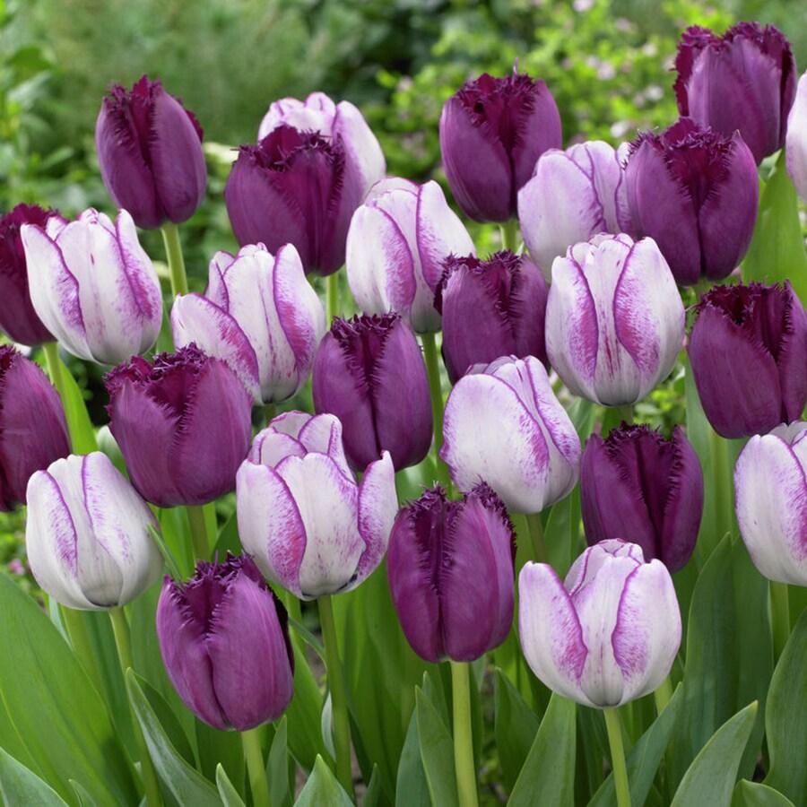 15-Count Tulip Bulbs