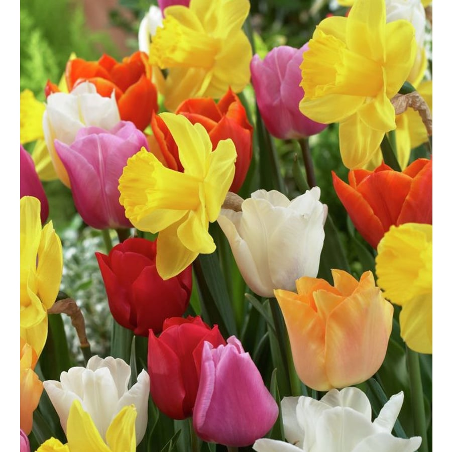 100-Count Tulip Bulbs