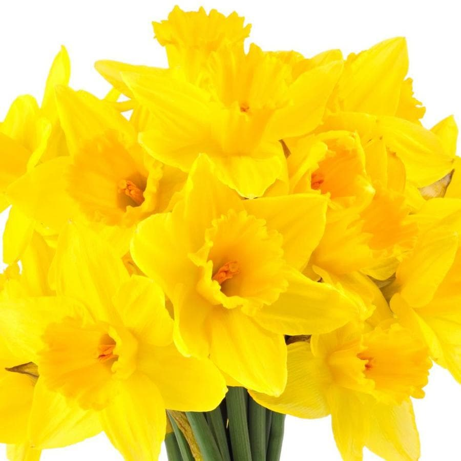 12-Pack Daffodil Yellow Bulbs