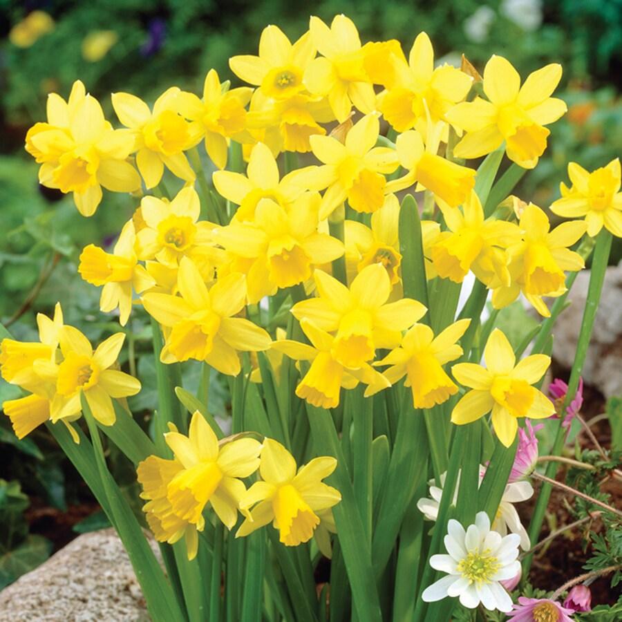 8-Count Daffodil Bulbs