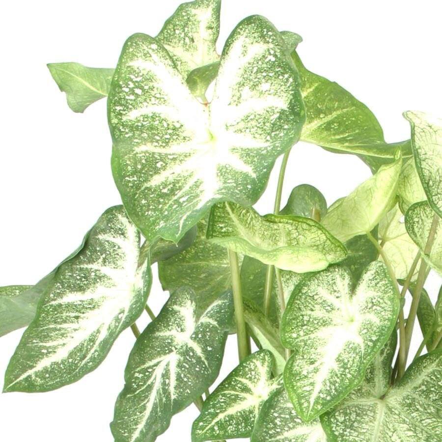 8-Count Caladium Bulbs