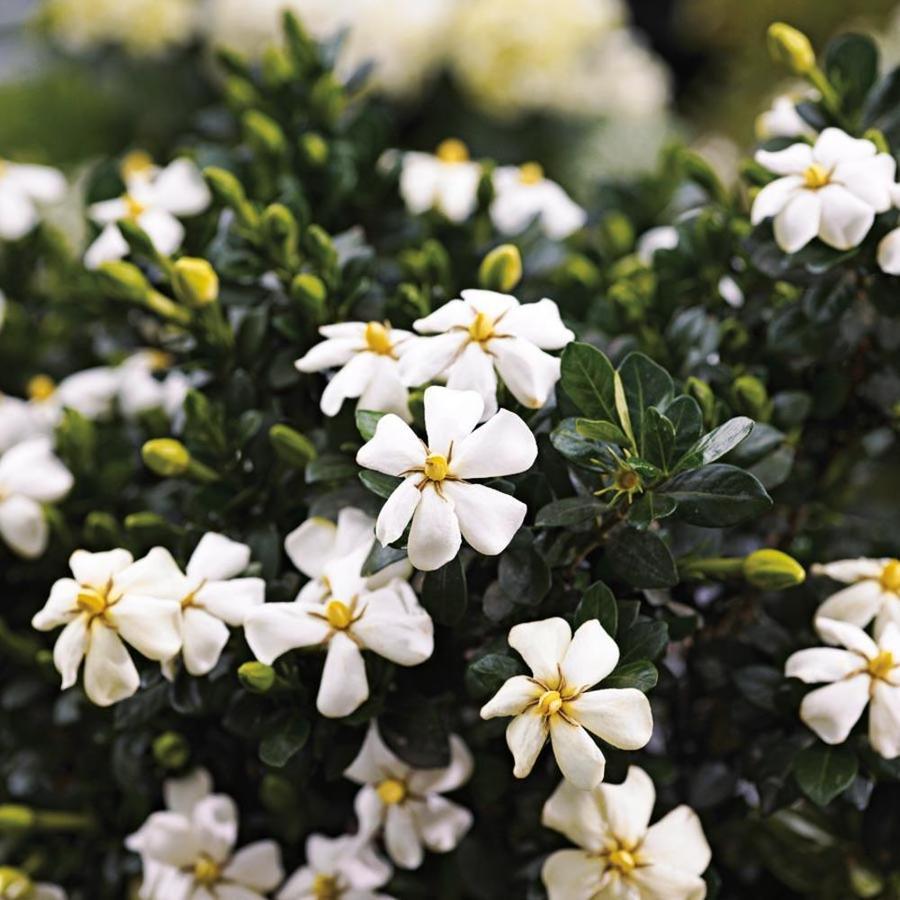 3-Quart White Heaven Scent Gardenia Flowering Shrub (L20905)