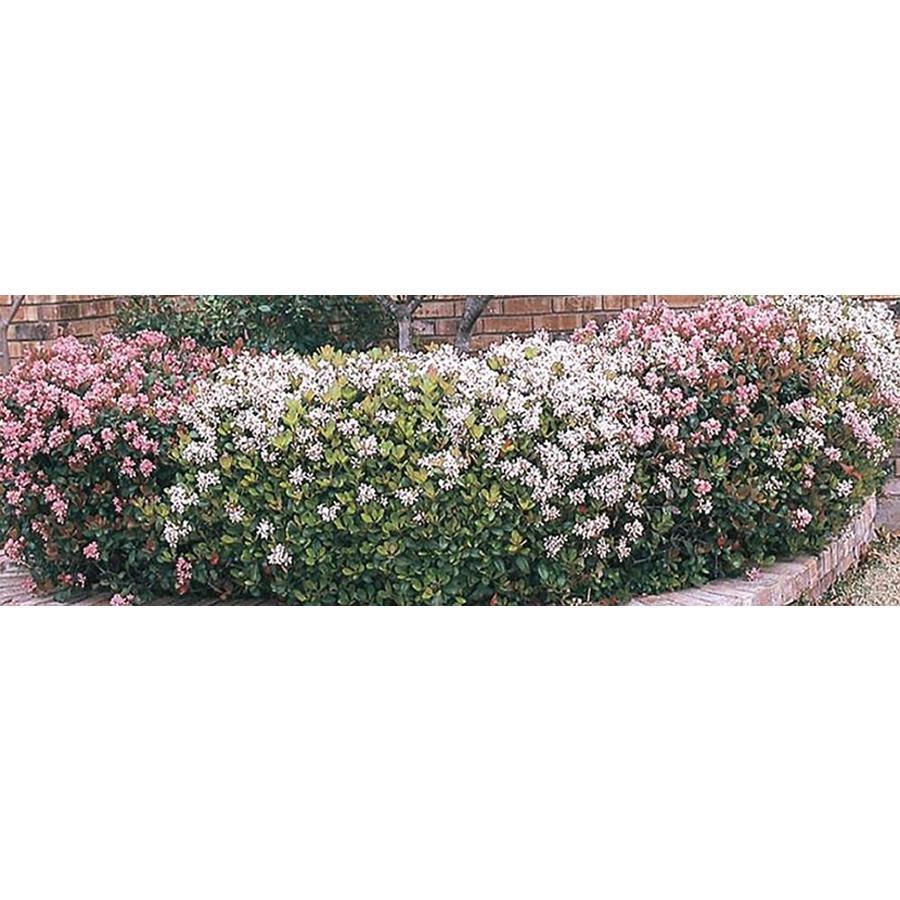 2.5-Quart Mixed Indian Hawthorn Foundation/Hedge Shrub (L11166)