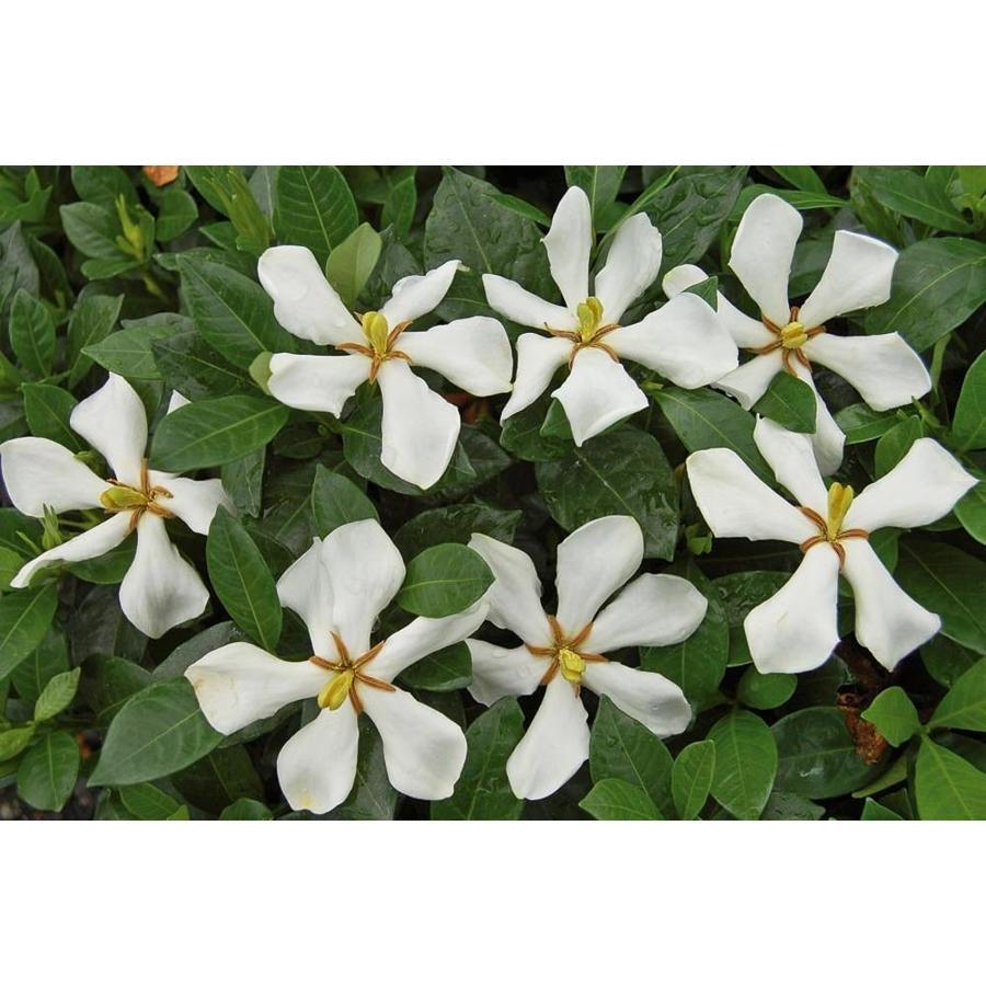 2.25-Gallon White Pinwheel Gardenia Flowering Shrub (L23287)