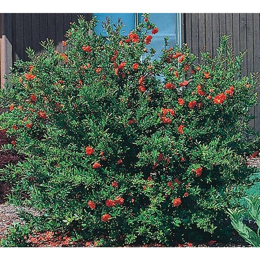 2.5-Quart Red Dwarf Pomegranate Accent Shrub (L5944)