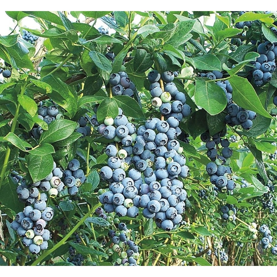 2.25-Gallon Blue Suede Southern Highbush Blueberry Small Fruit (L23286)