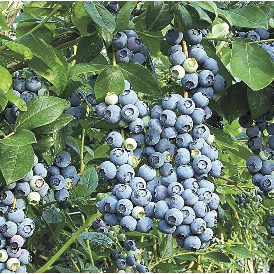 1-Gallon Blue Suede Southern Highbush Blueberry Small Fruit (L23286)