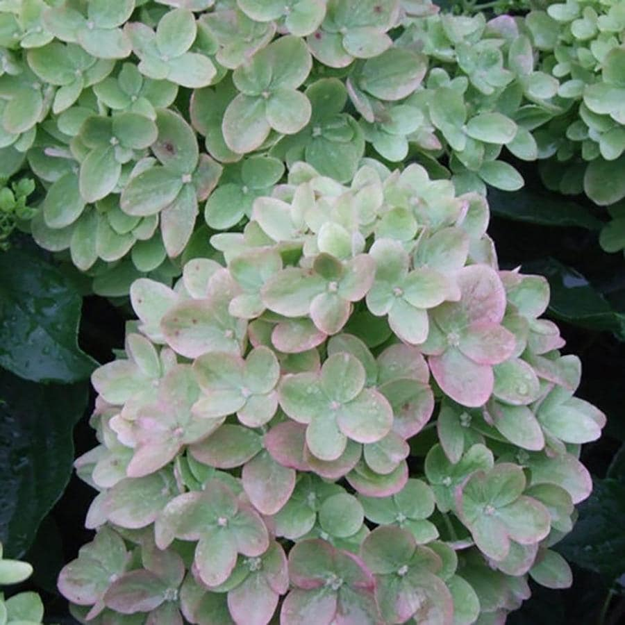 Shop 2 gallon mixed hardy hydrangea flowering shrub at for Hardy flowering trees