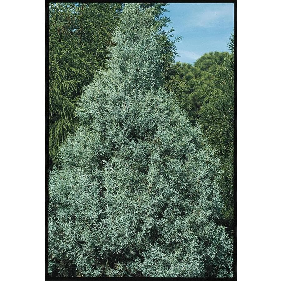 2.5-Quart Carolina Sapphire Cypress Screening Tree (L7632)