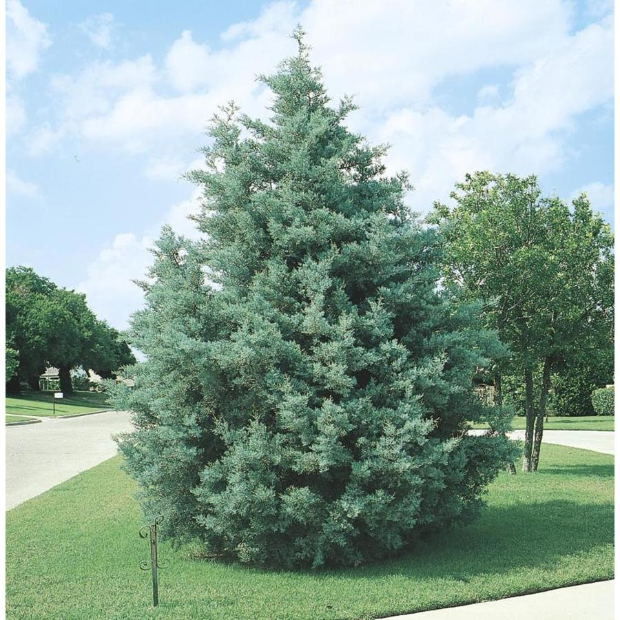 Shop 2 25 Gallon Arizona Cypress Screening Tree L5089 At