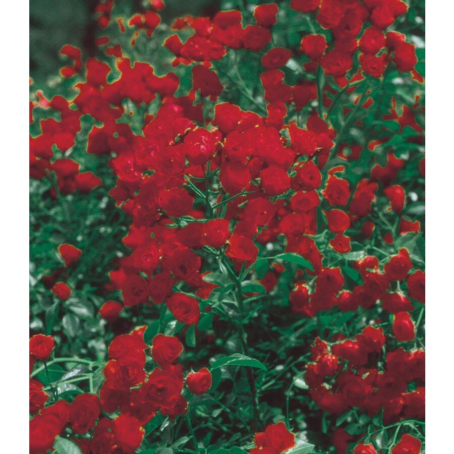 3.25-Gallon Red Lady Banks Rose (LW03784)