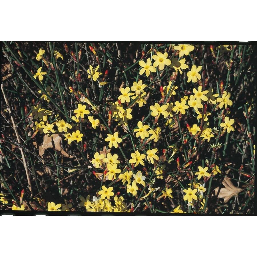 2.5-Quart Yellow Winter Jasmine Flowering Shrub (L4344)