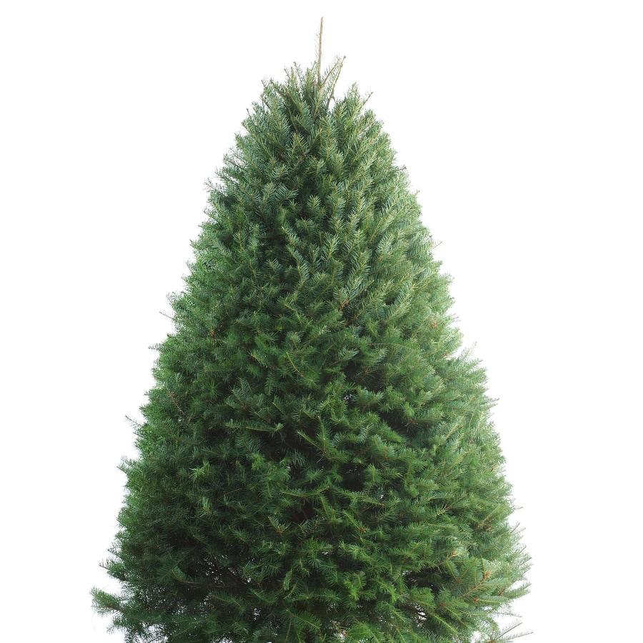 5-ft to 6-ft Fresh-Cut Douglas Fir Christmas Tree
