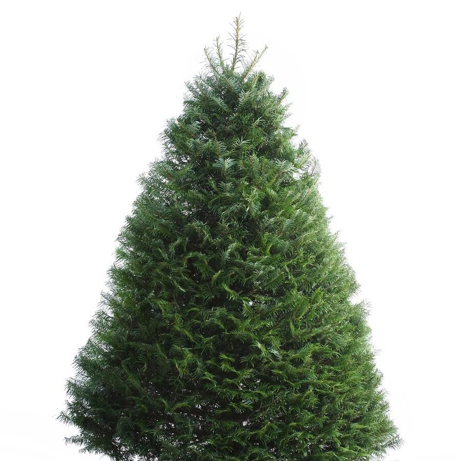 6-ft to 7-ft Fresh-Cut Grand Fir Christmas Tree