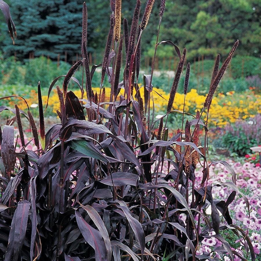 Burpee Purple Majesty Hybrid Ornamental Millet Seed Packet
