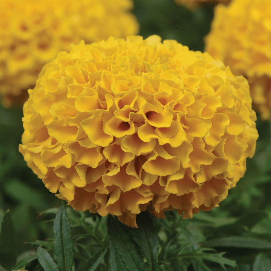 Burpee Taishan Gold Hybrid Marigold Seed Packet