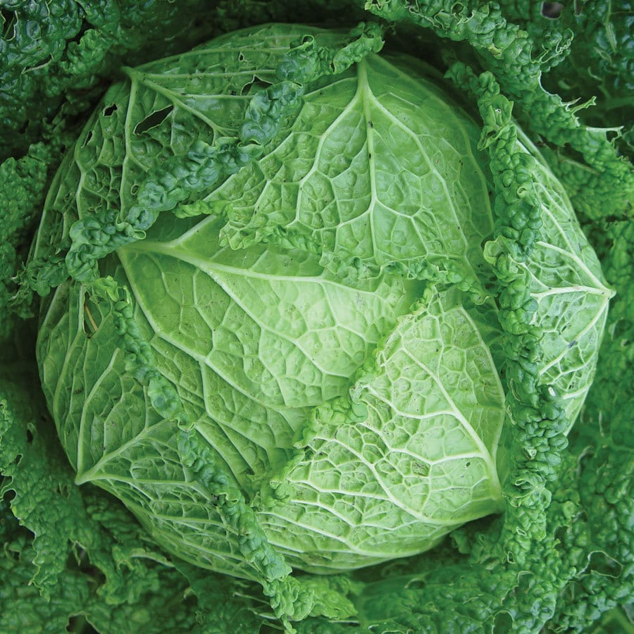 Burpee Vertus Savoy Cabbage Seed Packet